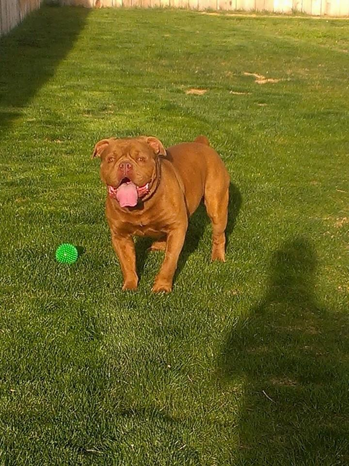 Olde English Bulldogge in Boise, Idaho.
