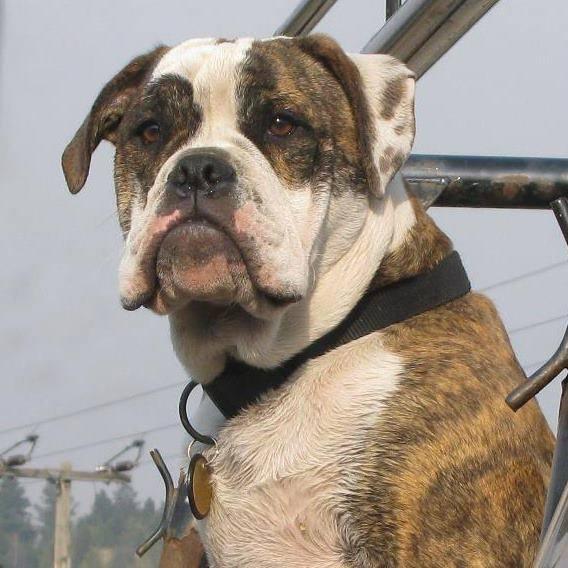 Olde English Bulldogge from Bozeman