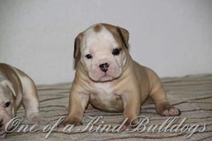 Carlsbad Bulldog