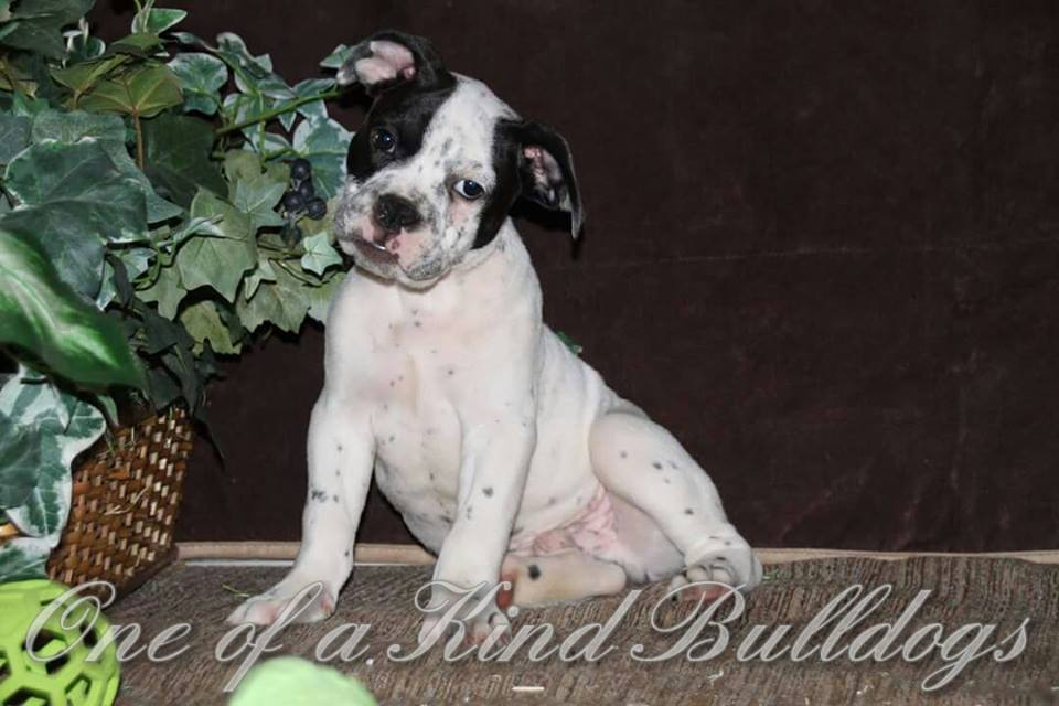 Olde English Bulldogge Puppy in Kansas City, Missouri.