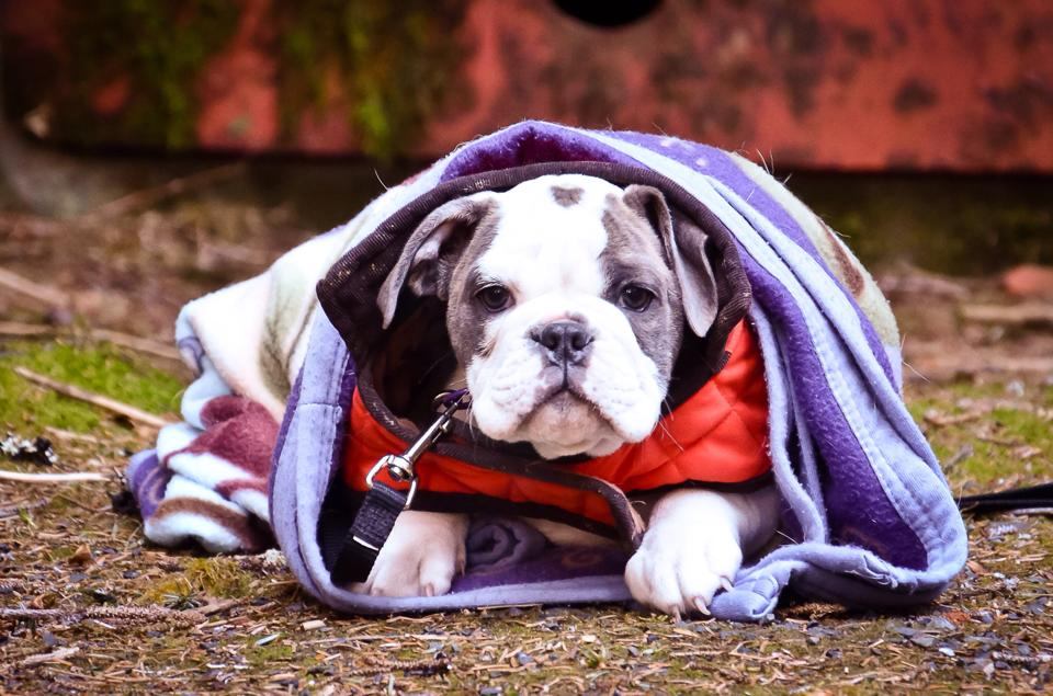 Olde English Bulldogge in Seward, Alaska