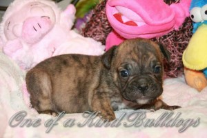 Olde English Bulldogge Puppy in Elkton, Maryland