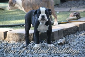 Blackjack - Orange County Bulldog