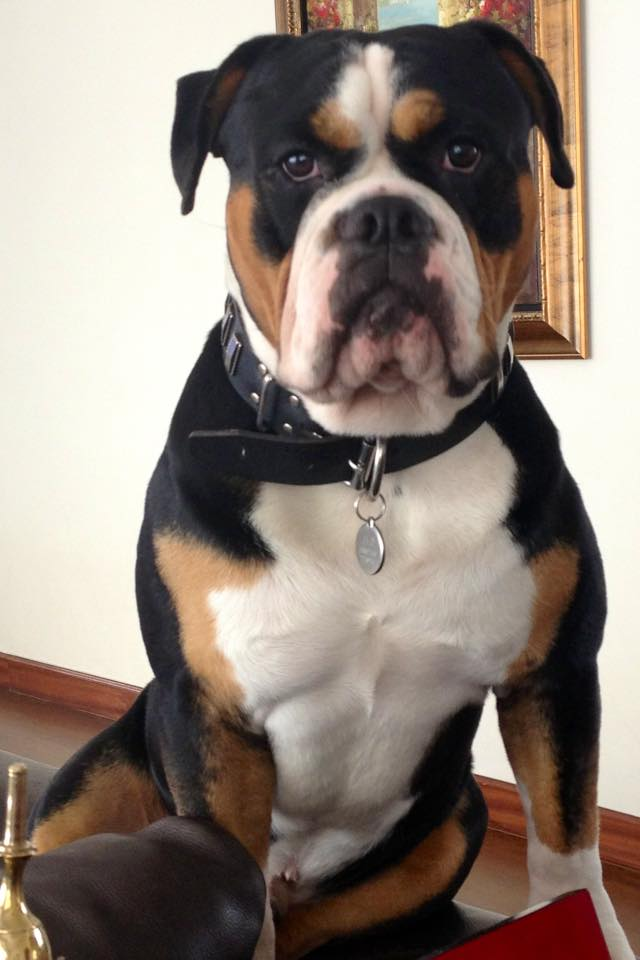 Olde English Bulldogge in Hong Kong, China.