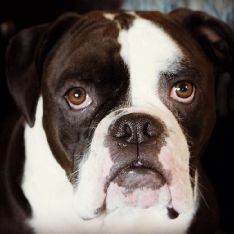 Olde English Bulldogge in Vancouver, Canada