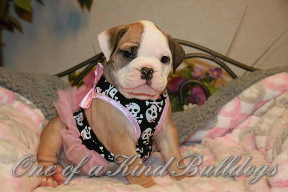Bulldog Female Wearing Pink Stock
