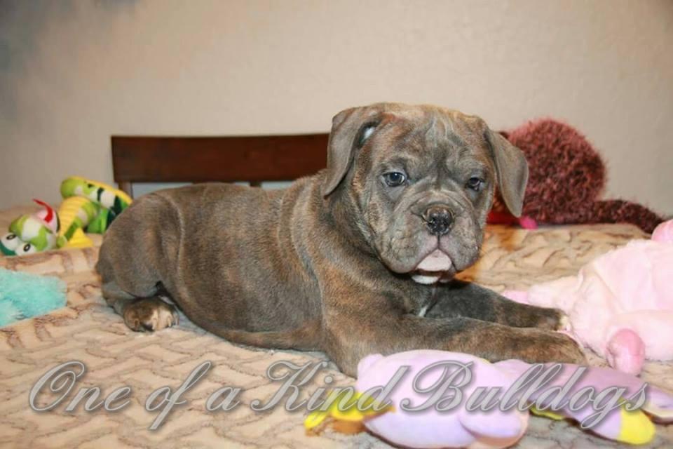 male bulldog puppy california