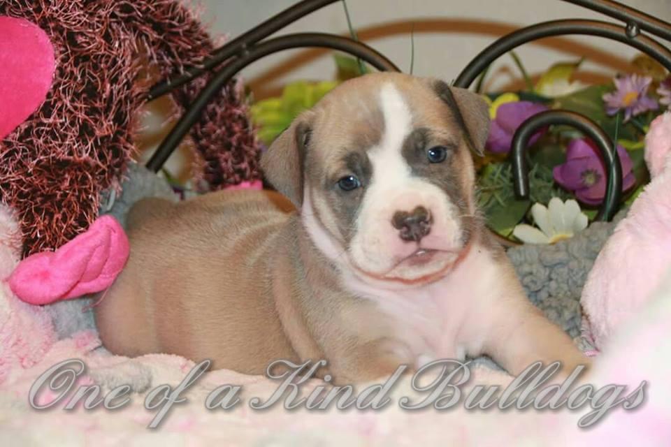 bulldog puppy pic