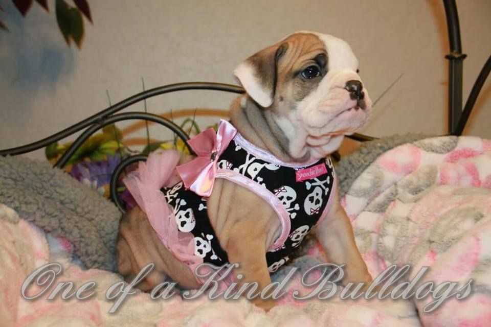 female bulldog in pink dress