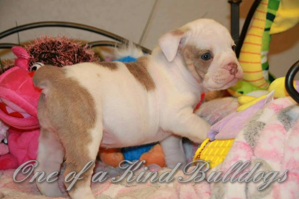 french puppy bulldog