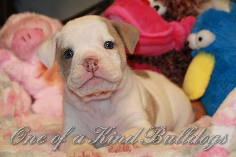 female bulldog Lilac Pied