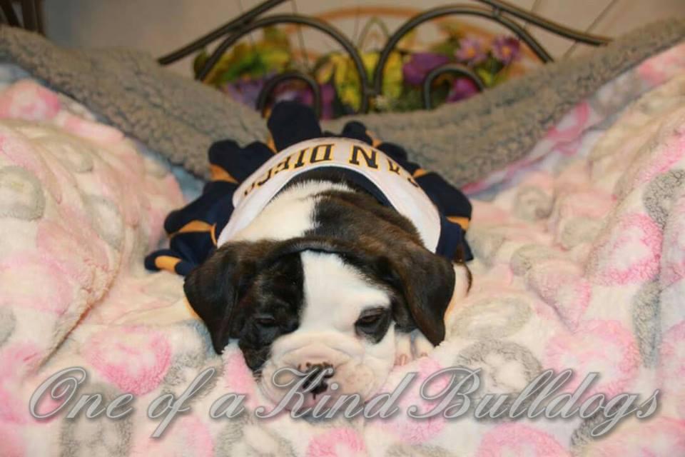 sleepy female bulldog