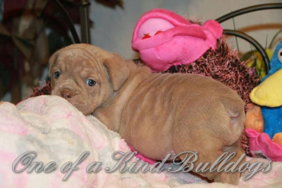 female bulldog for sale
