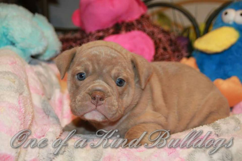 female bulldog puppies