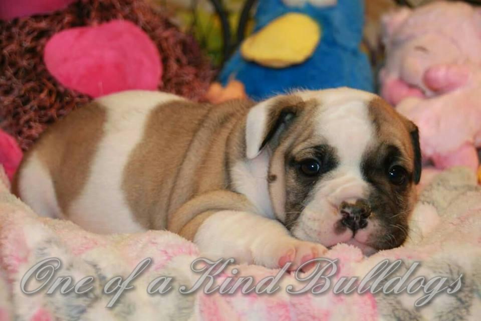 bulldog breeds