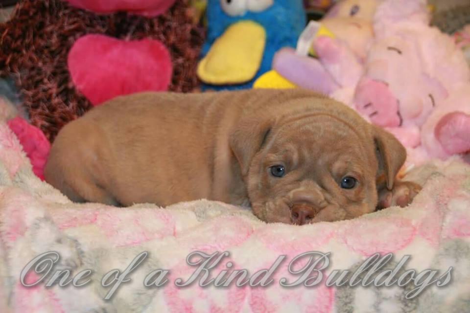 female bulldogs for sale in california