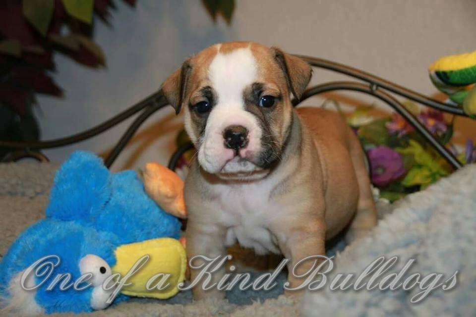 male bulldog puppy