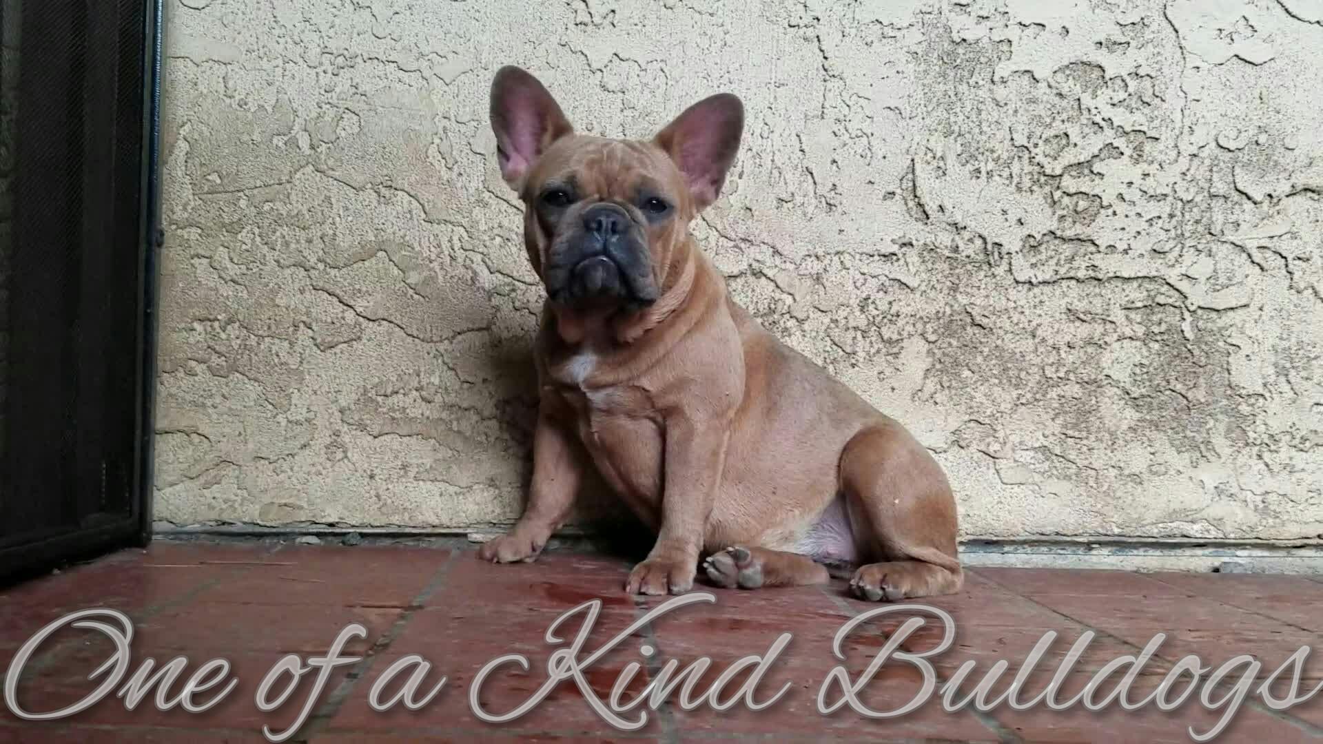 GiGi French Bulldog