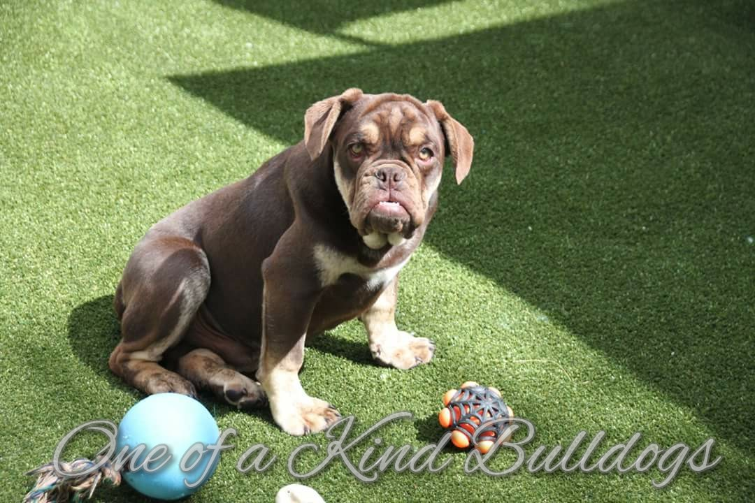 Olde English Bulldog Archives One Of A Kind Bulldogs