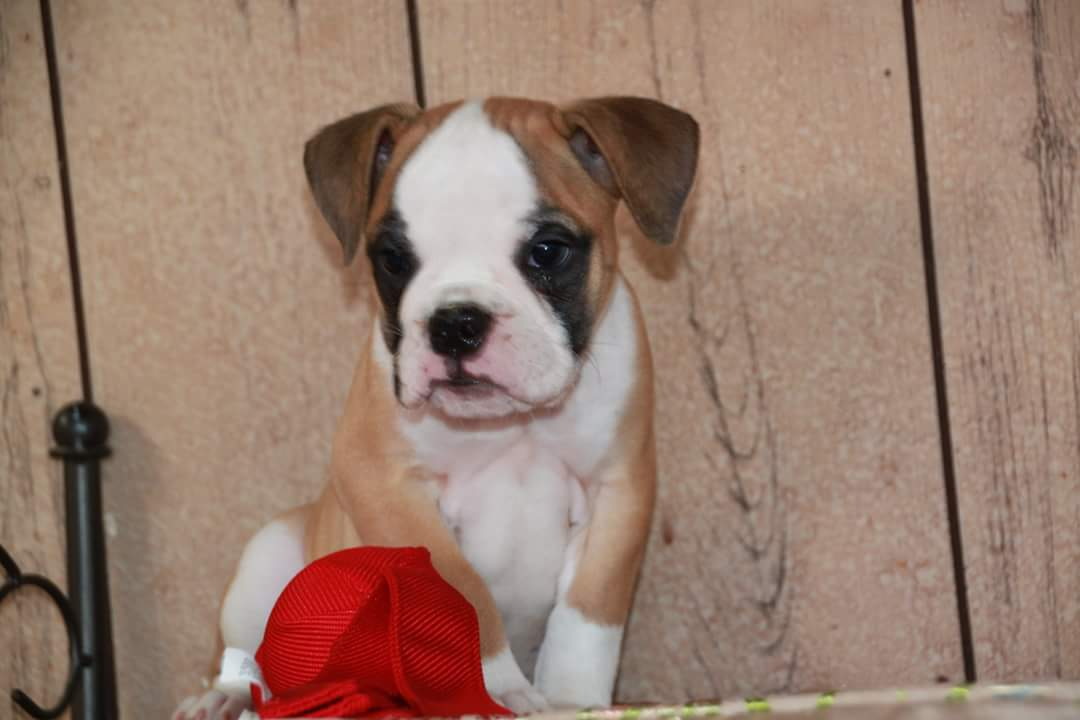 One of a Kind Bulldogges Puppy