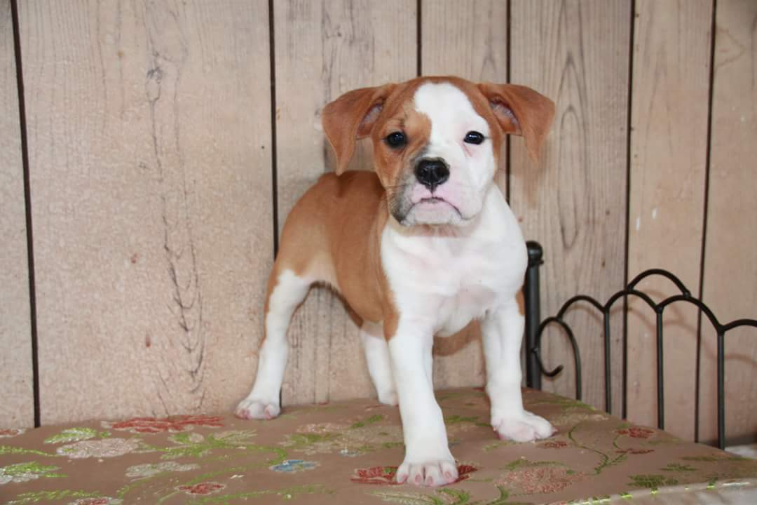 One of a Kind Bulldogge Puppy