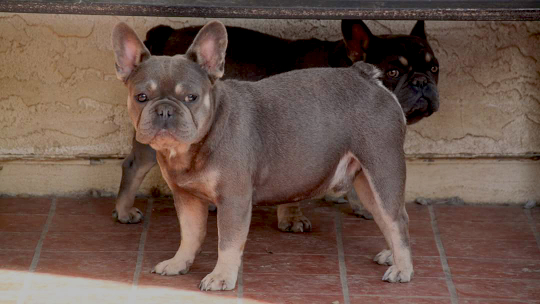 French Bulldog Jake