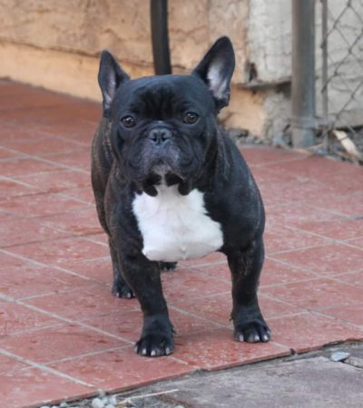 Reggie – French Bulldog