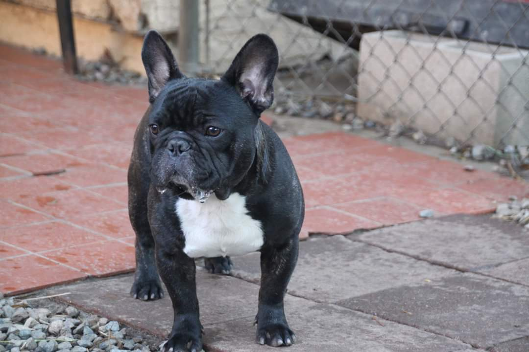 French Bulldog Reggie