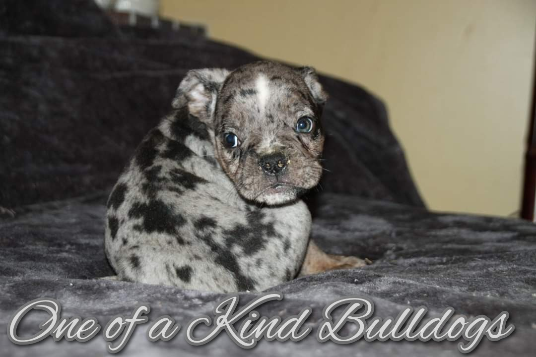 Male Black Tri Merle Olde English Bulldogge Puppy