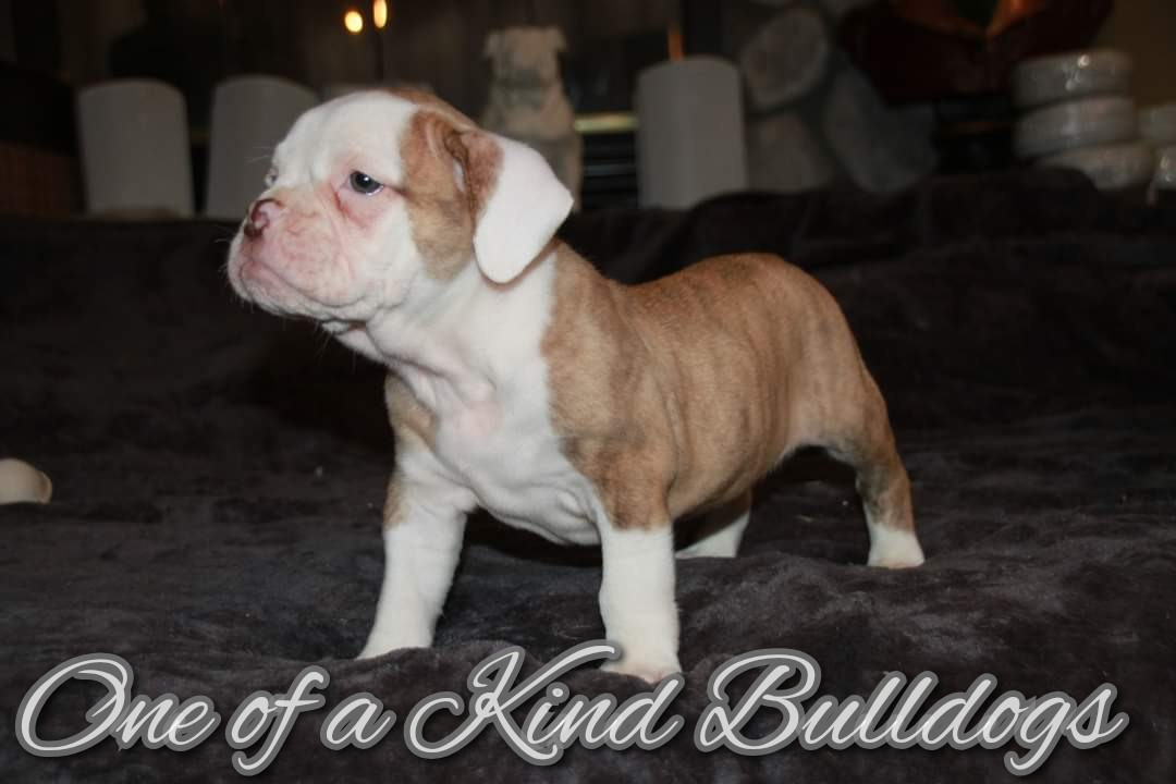 Male Chocolate Brindle Olde English Bulldogge Puppy