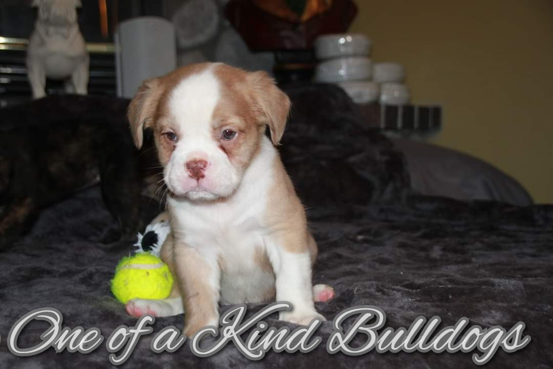 Olde English Bulldogge Puppy