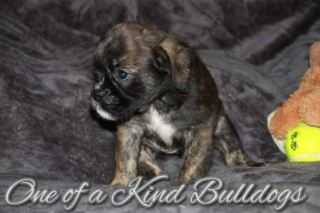 Female Long Hair Brindle Olde English Bulldogge Puppy