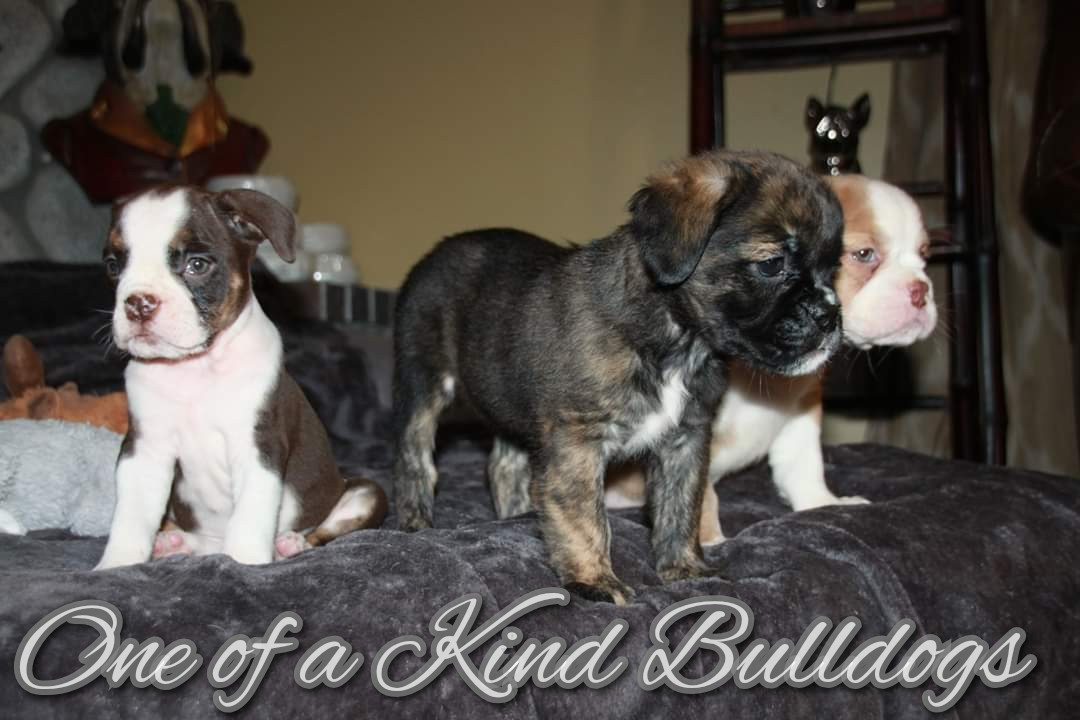 Female Olde English Bulldogge Puppies
