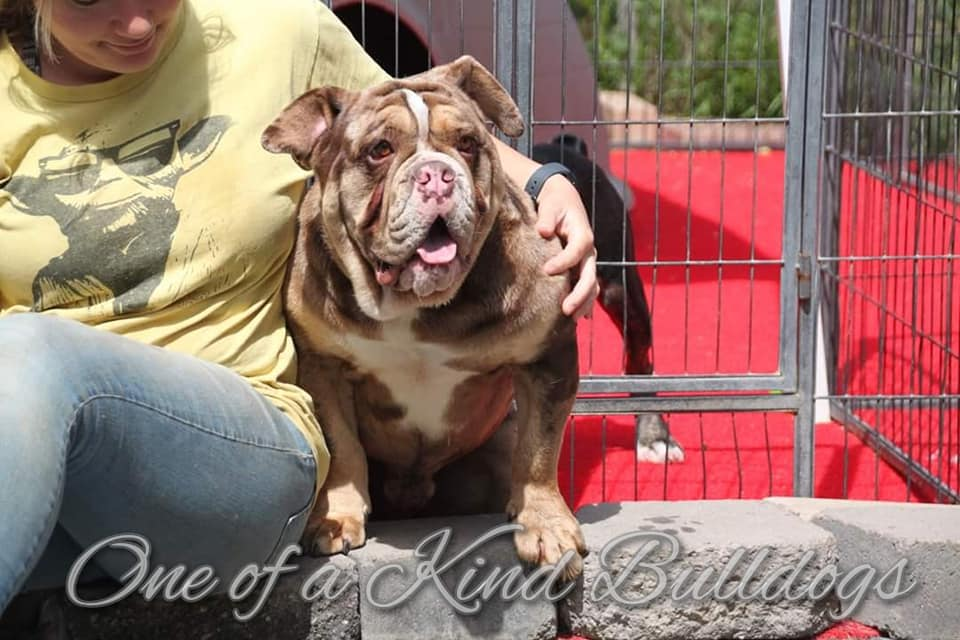 One of a Kind Bulldogges Pablo