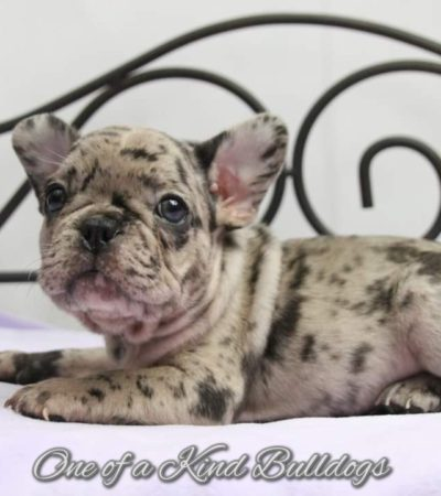 Famous & Darla French Bulldog Puppies