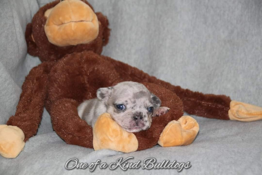 One of a Kind French Bulldog Puppy