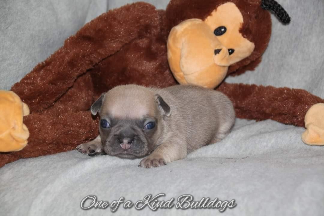 Blue Tri French Bulldog
