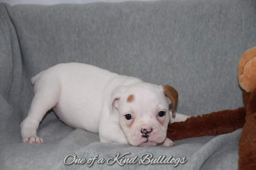 One of Kind Bulldogs