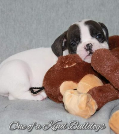 Olde English Bulldogge Puppies from Pork Chop and Cleo