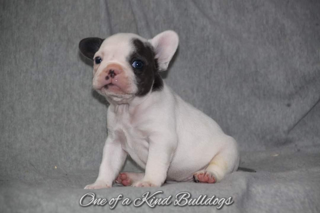 One of a Kind French Bulldogs