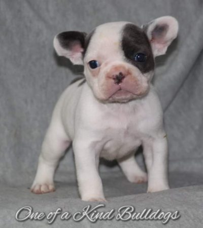 Elwood and Nugget French Bulldog Puppies