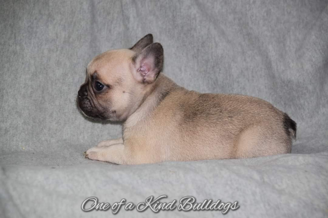 one of a kind french bulldog puppies