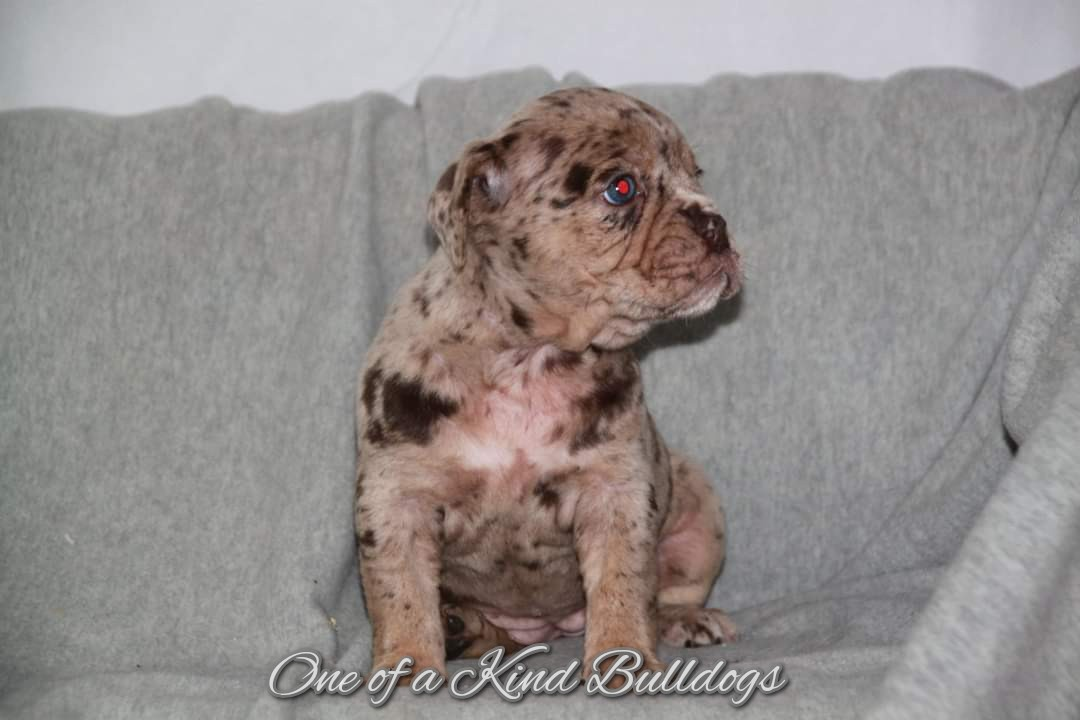 Olde English Bulldogge merle pupppies